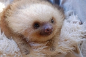 I am a baby sloth. I am so cute I make your neurons curl.